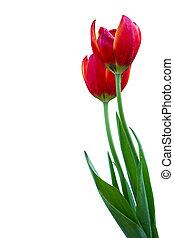 tulips, isolated, white.