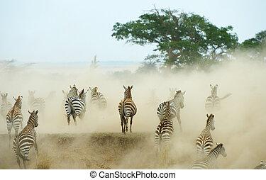 zebras, (african, equids), пасти